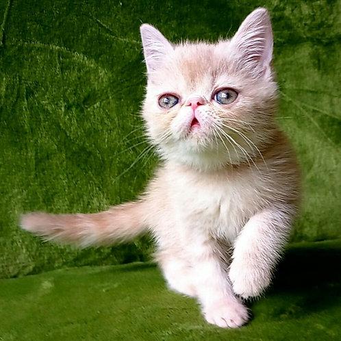 Queeny Exotic shorthair female kitten