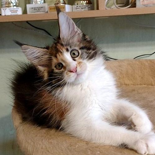 427 Jeannette  Maine Coon female kitten