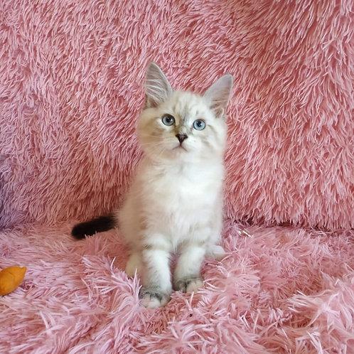 David Kopperfield Siberian male kitten