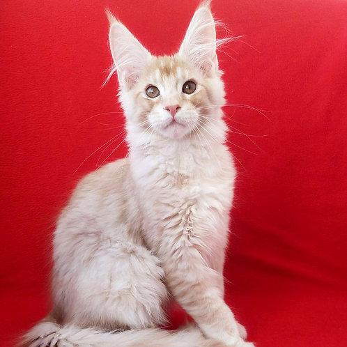 30 Xarios Maine Coon male kitten