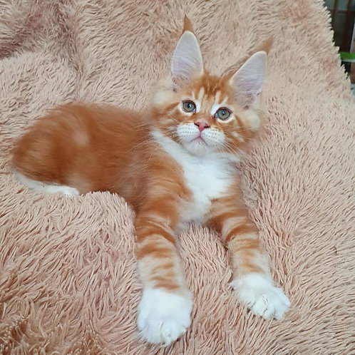 Dr. Alban Maine Coon male kitten