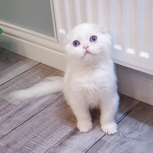 489 Maris  Scottish fold longhair male kitten