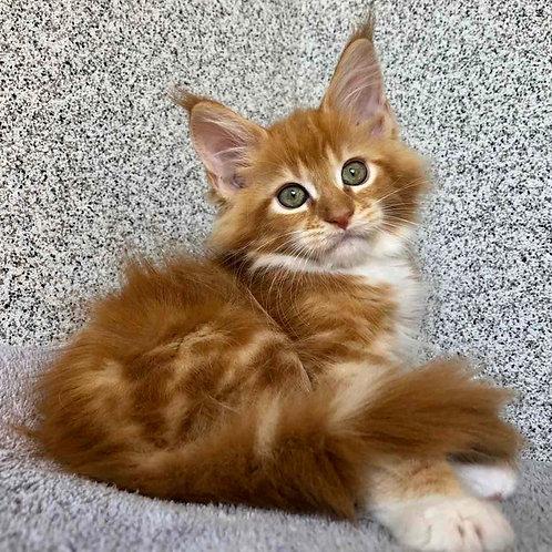 852 Preston  Maine Coon male kitten