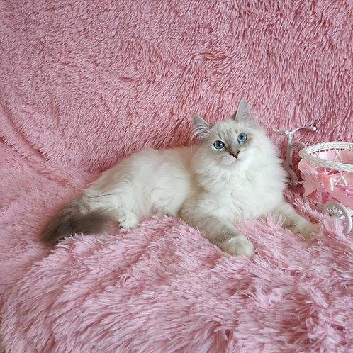 Mohito Siberian male kitten