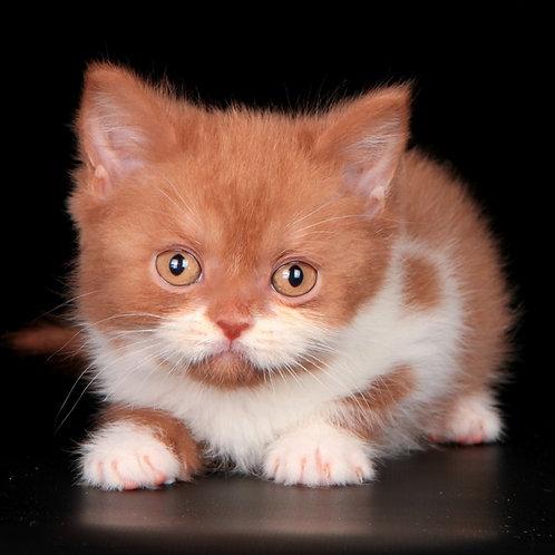 436 Newmir      Scottish straight shorthair female kitten