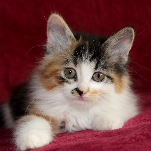 792 Karolina Bee shorthair  Kurilian Bobtail female kitten