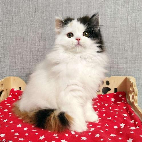 472 Sandra      Scottish straight longhair female kitten