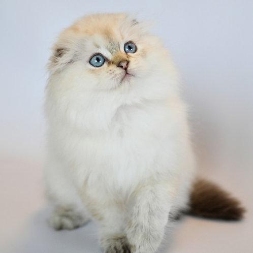 773 Billy   Scottish fold longhair male kitten
