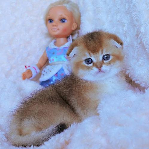 Willena Scottish fold shorthair female kitten