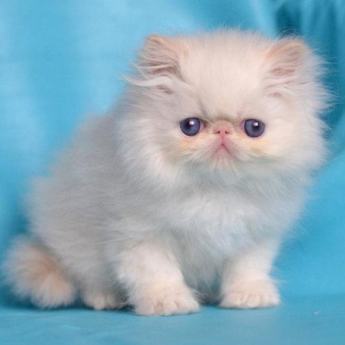55 Percey   Persian  male kitten