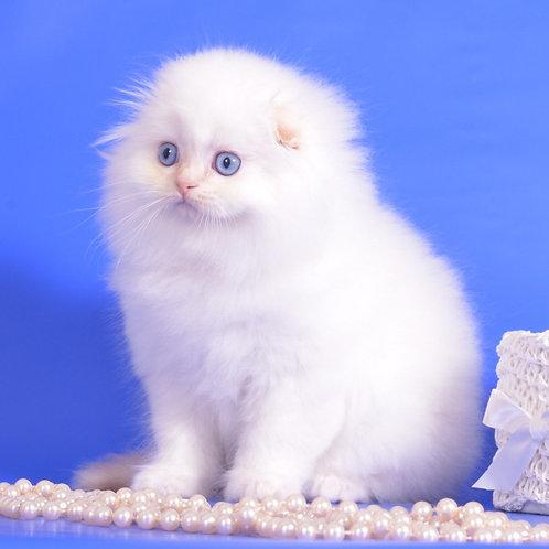 524 Variant Scottish fold longhair male kitten