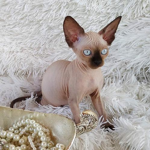 295 Harmony female Sphinx kitten