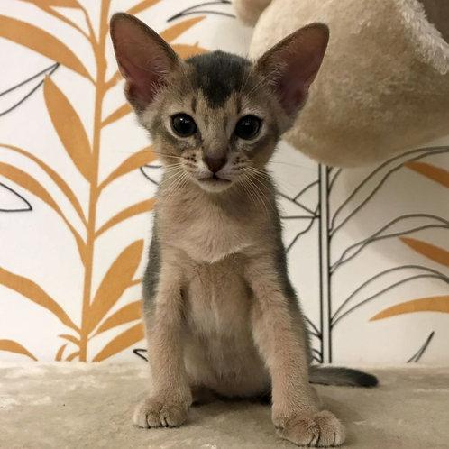 4 Beatrice   purebred Abyssinian female kitten