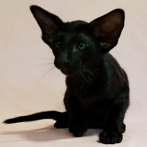 617 Volter   Oriental male kitten