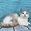 Thumbnail: 1084 King Leo    Munchkin shorthair male kitten