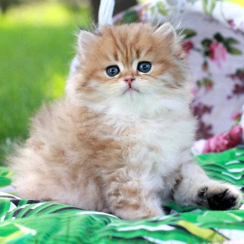 799 Lisyon  British longhair male kitten