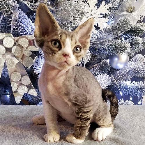 9 Yamamoto male kitten Devon Rex