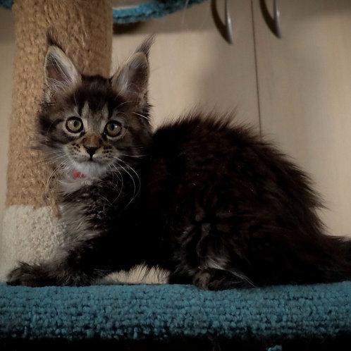 665 Nutella  Maine Coon female kitten