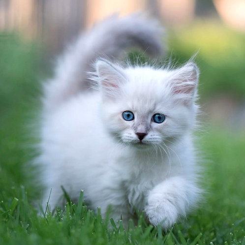 233 Qiwin     Siberian male kitten