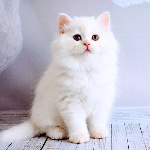 238 Hummer   Scottish straight longhair male kitten