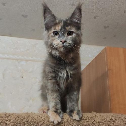 3 Lima Maine Coon female kitten