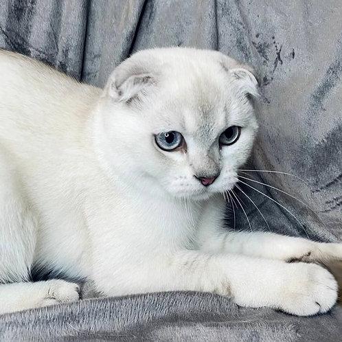 886 Buks   Scottish fold shorthair male kitten