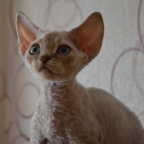 293 Bras    male kitten Devon Rex