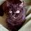 Thumbnail: 1011 Yukimura   Scottish straight shorthair male kitten