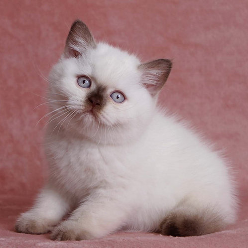 312 Itay British shorthair male kitten