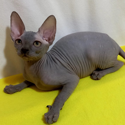 153 Amelia   female Sphinx kitten