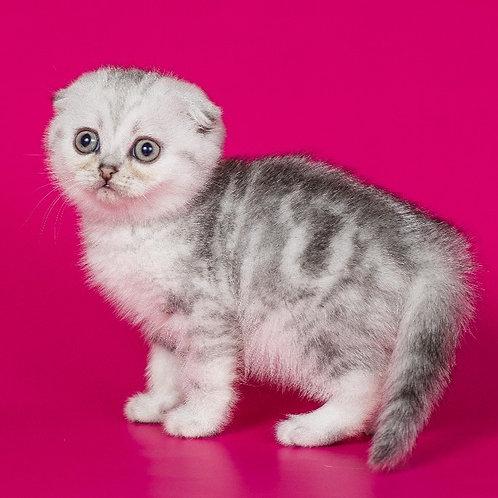 Barbie Scottish fold shorthair female kitten