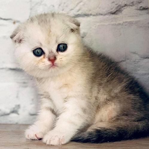 1031 Van Scottish fold shorthair male kitten