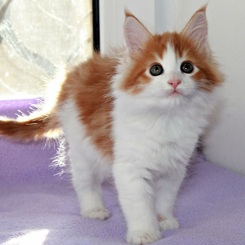 881 Djessy Maine Coon female kitten