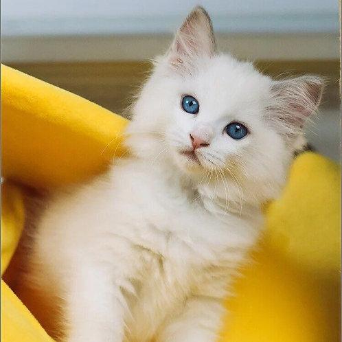 307 Grace   Ragdoll female kitten