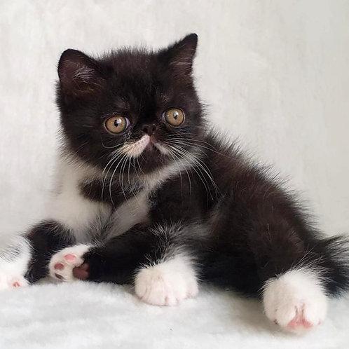 178 Fellini   Exotic  male kitten
