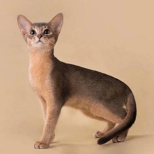 Blues purebred Abyssinian male kitten