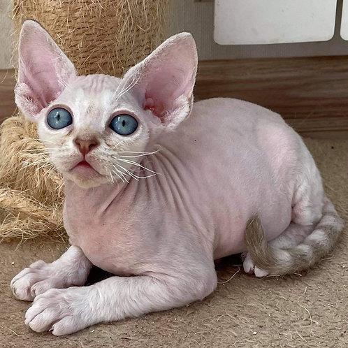 534 Romeo  male kitten Devon Rex