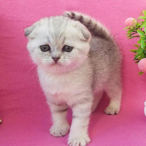1156 Jenny  Scottish fold shorthair female kitten