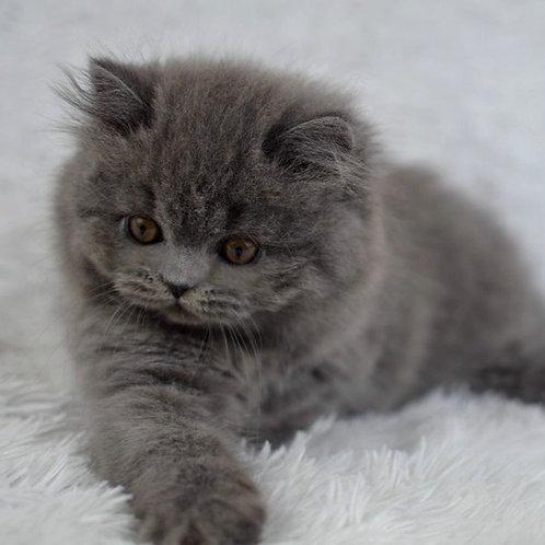 962 Jimmy   British longhair male kitten