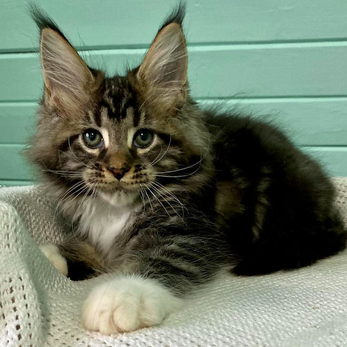 852 Wavior Maine Coon male kitten