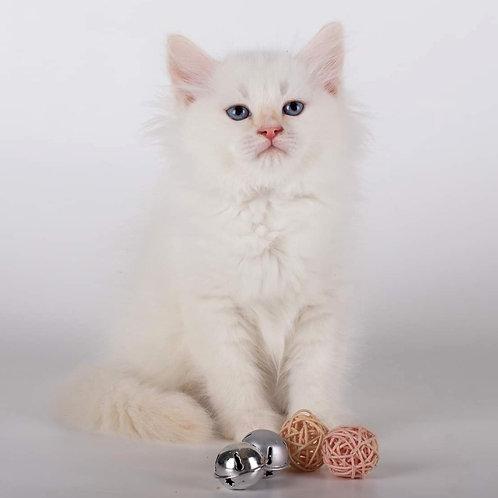 314 Xarley   Siberian male kitten
