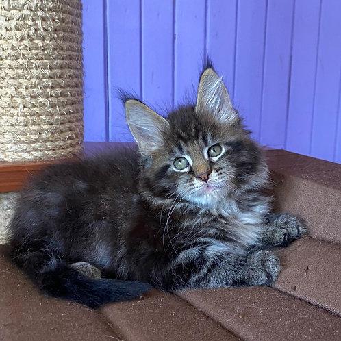 Fayansa Maine Coon female kitten