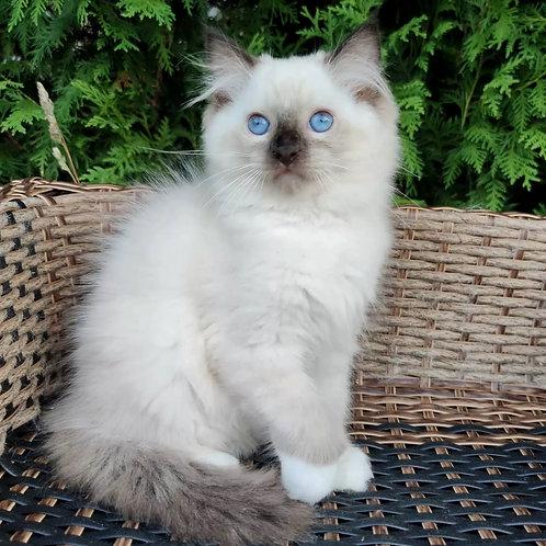 221 Vanilla    Ragdoll female kitten