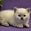Thumbnail: 60 Izzi  Scottish straight shorthair male kitten