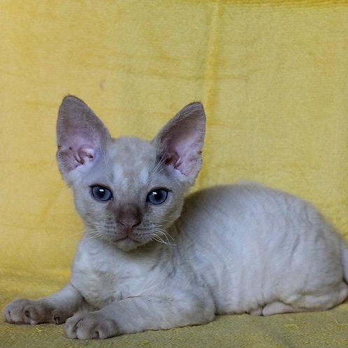 433 Favorit  male kitten Devon Rex
