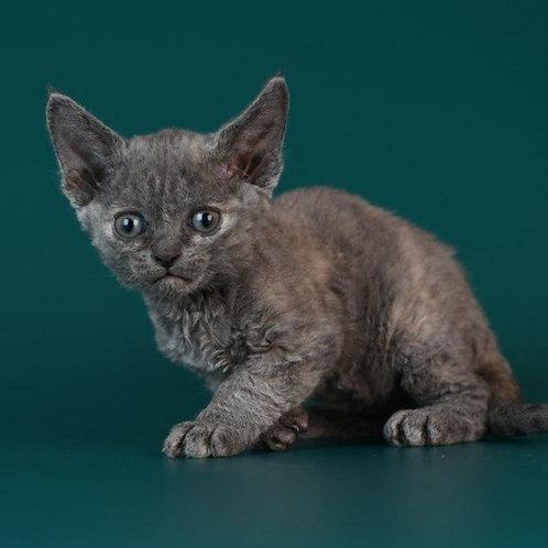 472 Renata female kitten Devon Rex