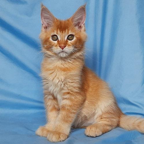 712 Y*Motya Maine Coon male kitten