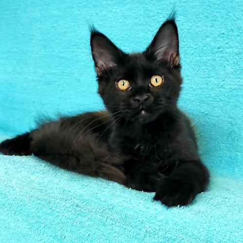 811 Qurdosh  Maine Coon male kitten