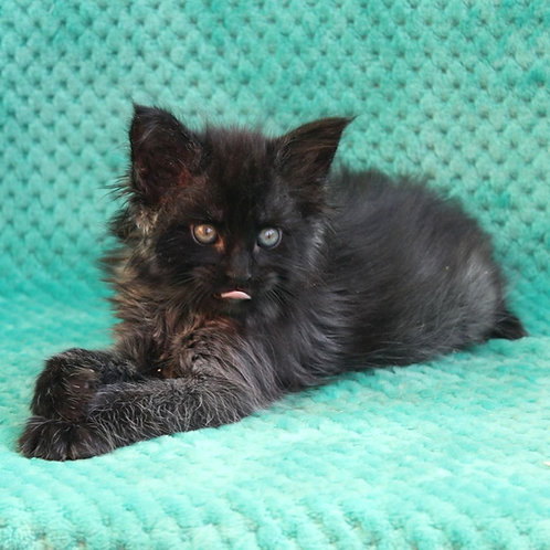 Bagira Maine Coon female kitten