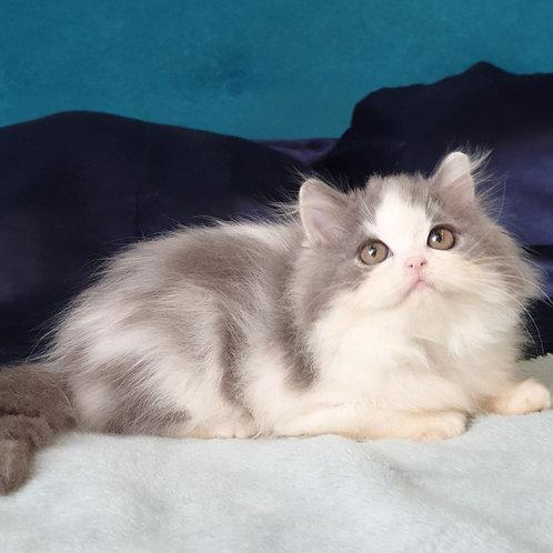 Jai Scottish straight longhair male kitten